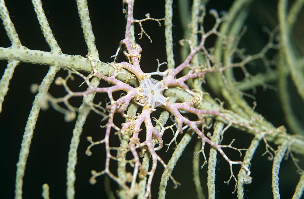 Basket Star fish (Astrophyton muricatum) Juvenile on gorgonian coral, Cayman Islands, Caribbean.