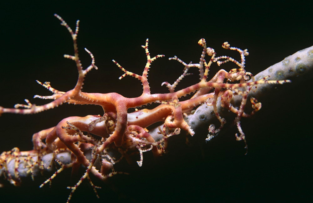 Basket Star fish (Astrophyton muricatum), juvenile on single coral 'arm', San Salvador, Bahamas, Caribbean.