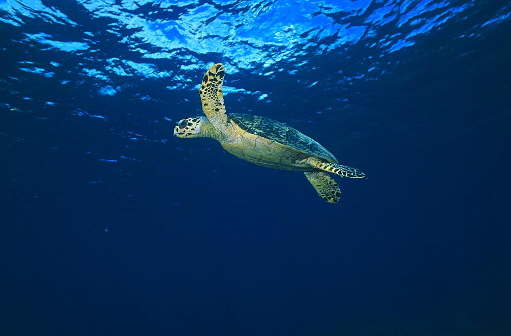 Hawksbill Turtle (Eretmochelys imbriocota), swimming in open water, Little Cayman Island, Cayman Islands, Caribbean - 970-629