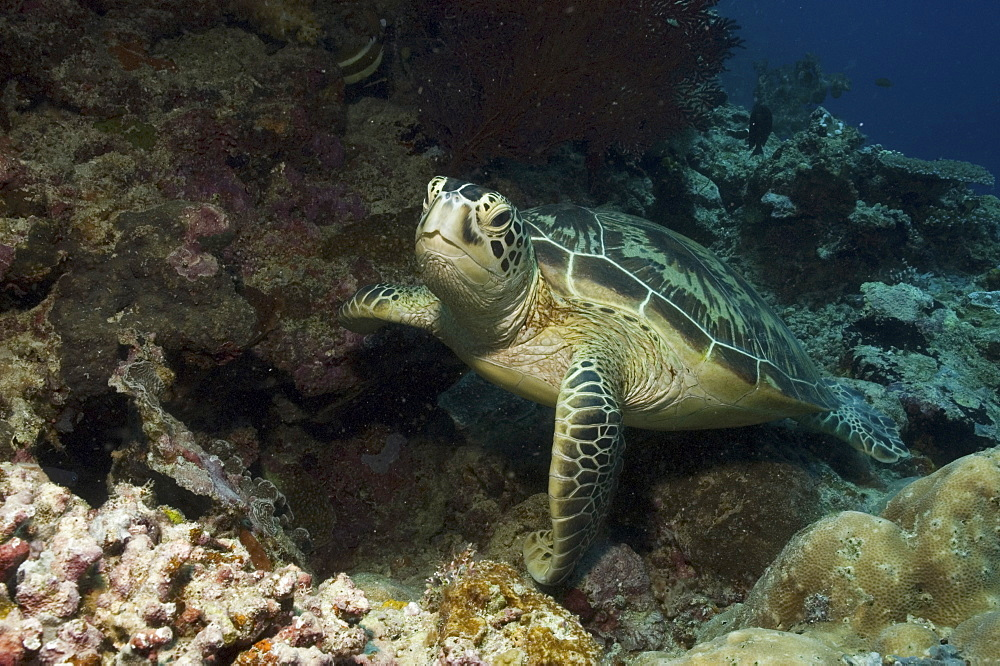 Green Turtle (Chelonia mydas), resting on good corals and facing forwards, Sipidan, Mabul, Malaysia.