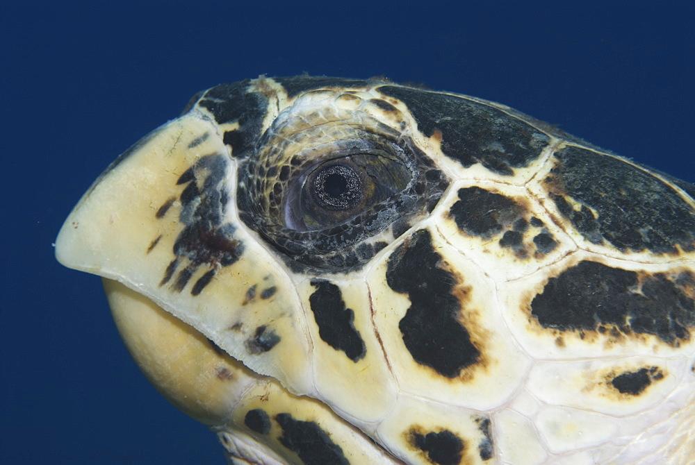 Hawksbill Turtle (Eretmochelys imbriocota), detail of head in side profile,  Little Cayman Island, Cayman Island, Caribbean - 970-669
