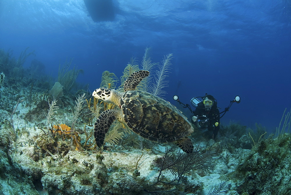 Hawksbill Turtle (Eretmochelys imbriocota), swimming over coral reef with underwater photographer, Cayman Brac, Cayman Island, Caribbean
