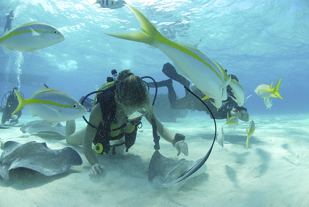 Diver with Sting rays, Stingray City Sandbar, Grand Cayman Island, Cayman Islands, Caribbean - 970-789