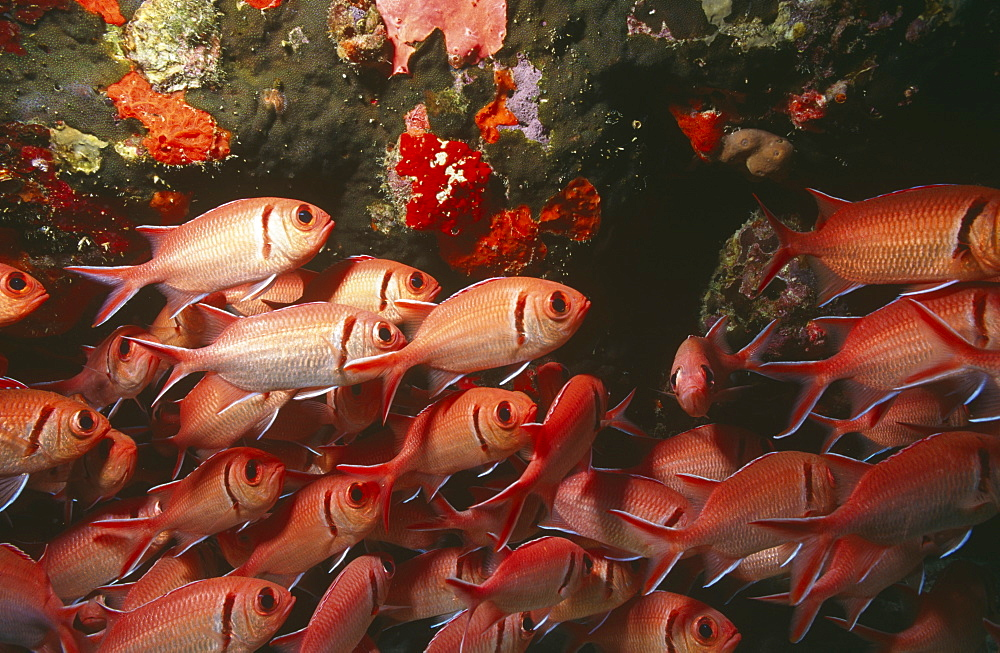 Blackbar soldier fish (Mynpristis jacobus), large school of fish, British Virgin Islands, Caribbean - 970-82
