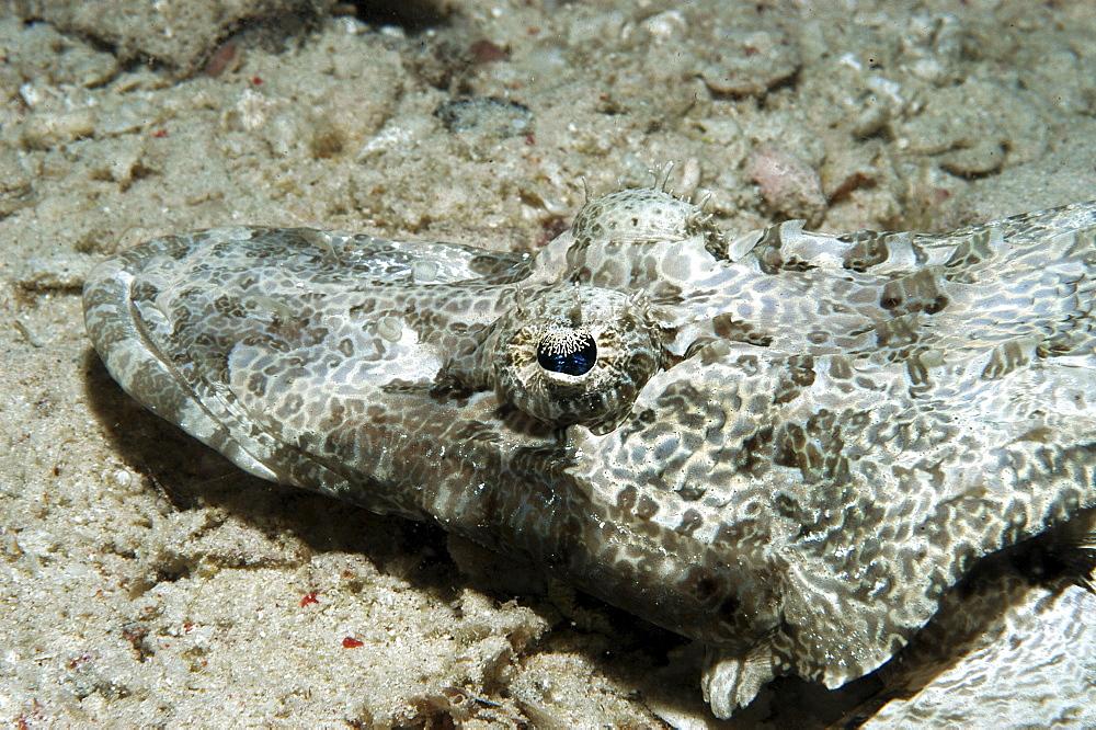 Crocodile fish (Cociella crocodila), detail of head from above on rough sandy seabed, Mabul, Borneo, Malaysia, South China Sea - 970-86