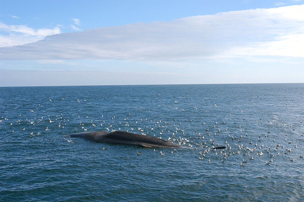 Wide angle of dead Sperm whale (Physeter macrocephalus) floating at sea, surrounded by scavenging fulmars, Faroes Trough