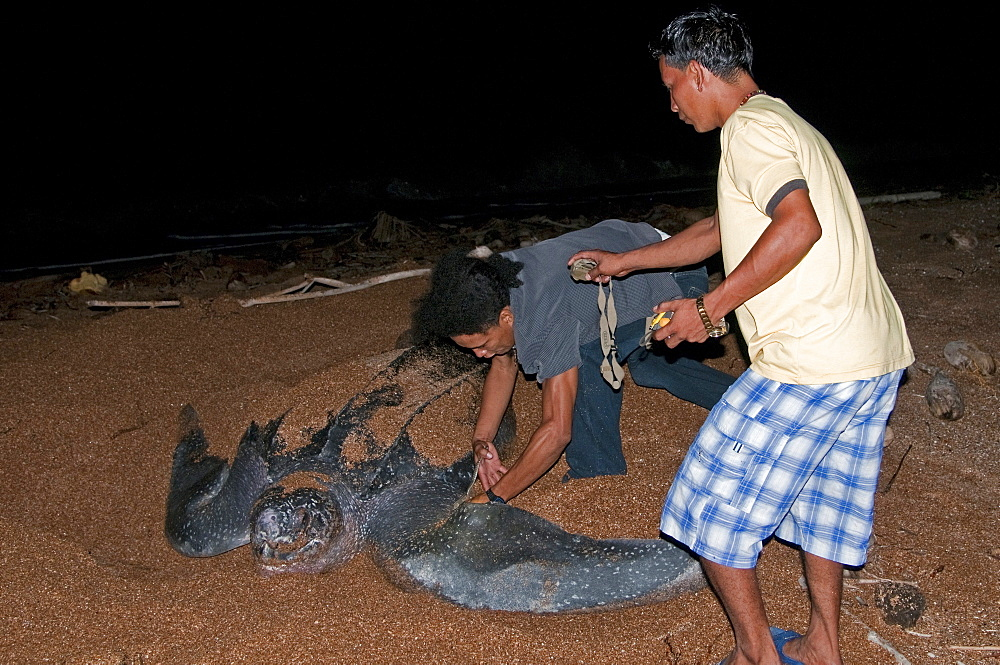 Applying a tag to a Leatherback turtle (Dermochelys coriacea) at its nesting site, Shell Beach, Guyana, South America - 971-37