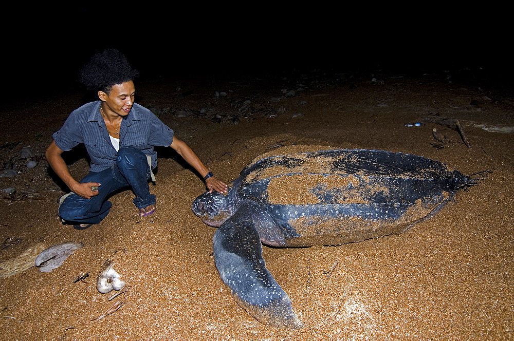 Turtle warden with nesting Leatherback turtle (Dermochelys coriacea), Shell Beach, Guyana, South America - 971-42