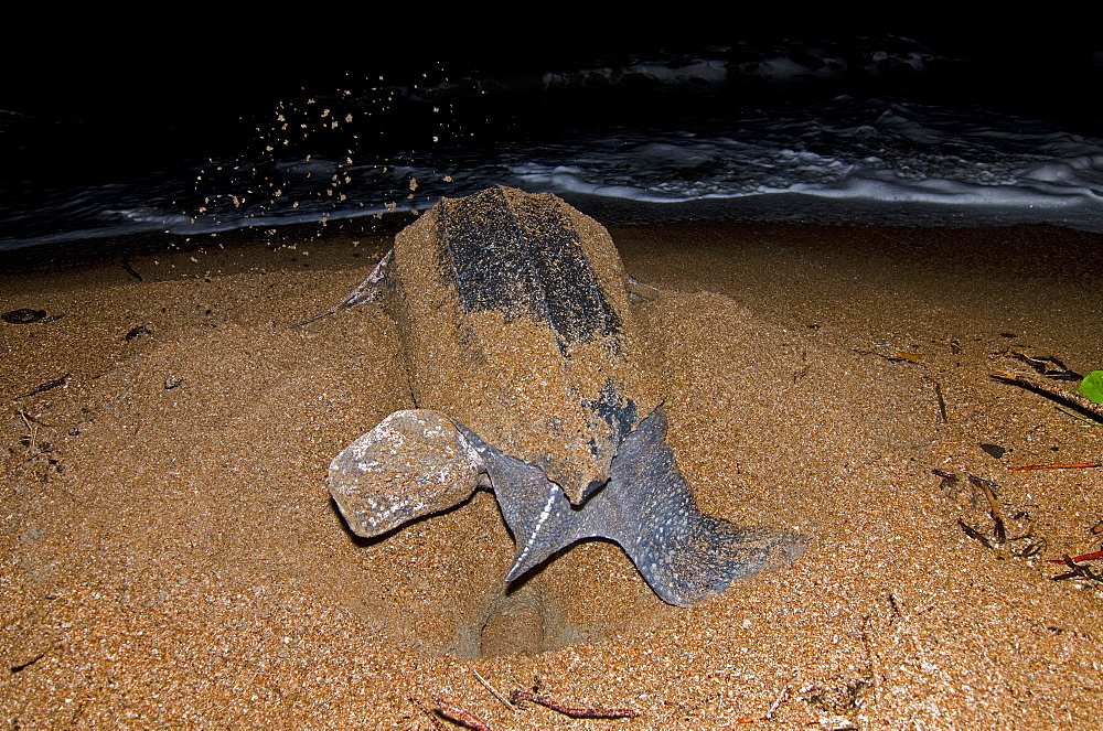 Leatherback turtle (Dermochelys coriacea) excavating a nest hole, Shell Beach, Guyana, South America - 971-45
