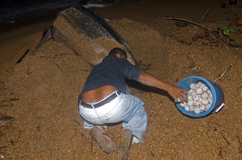 Leatherback turtle (Dermochelys coriacea) eggs being collected for transfer to a safer hatchery location, Shell Beach, Guyana, South America - 971-48