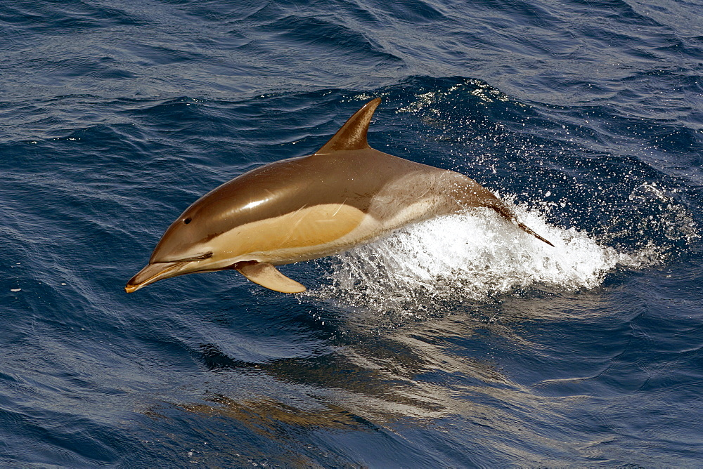 Short-beaked common dolphin (Delphinus delphis) porpoising clear of the water, Northeast Atlantic, offshore Morocco, North Africa, Africa - 971-62