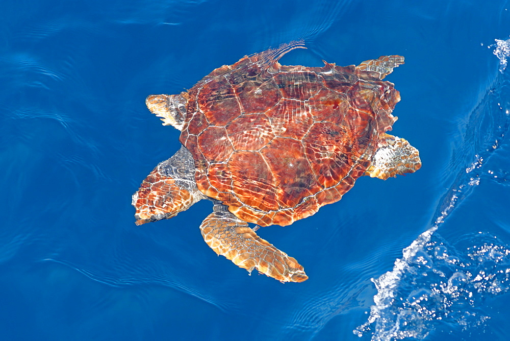 Juvenile loggerhead turtle (Caretta caretta), oceanic stage, below surface in deep water, Northeast Atlantic, offshore Morocco, North Africa, Africa