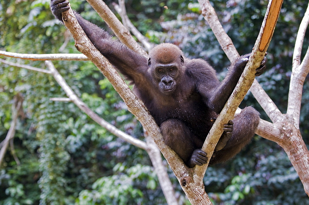 Rehabilitated orphaned western lowland gorilla (Gorilla gorilla gorilla) released back into natural habitat, Parc de la Lekedi, Haut-Ogooue, Gabon, Africa - 971-66