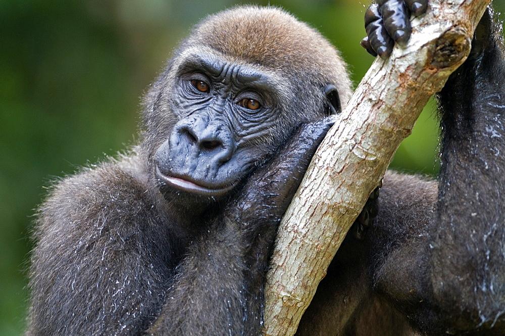 Rehabilitated orphaned western lowland gorilla (Gorilla gorilla gorilla) released back into natural habitat, Parc de la Lekedi, Haut-Ogooue, Gabon, Africa - 971-67