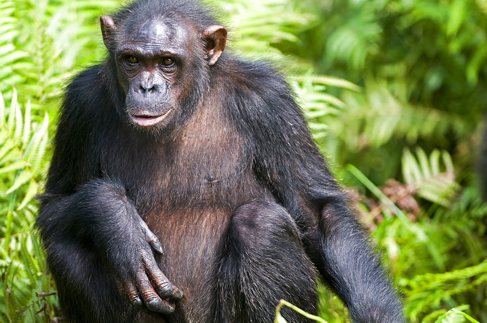 Rehabilitated orphaned chimpanzee (Pan troglodytes) released back into natural habitat, Parc de la Lekedi, Haut-Ogooue, Gabon, Africa