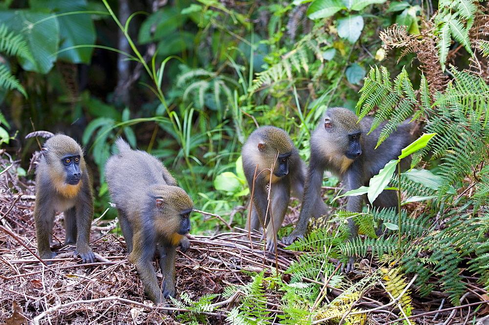 Juvenile mandrills (Mandrill sphinx), Parc de la Lekedi, Haut-Ogooue, Gabon, Africa - 971-71