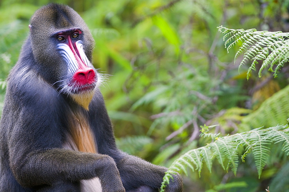 Male mandrill (Mandrill sphinx), Parc de la Lekedi, Haut-Ogooue, Gabon, Africa - 971-76