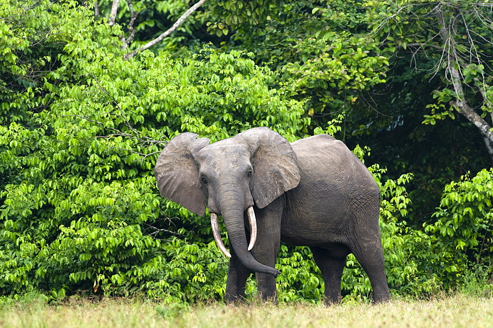 African forest elephant (Loxodonta cyclotis) bull standing at the edge of the forest, Loango National Park, Ogooue-Maritime, Gabon, Africa - 971-79