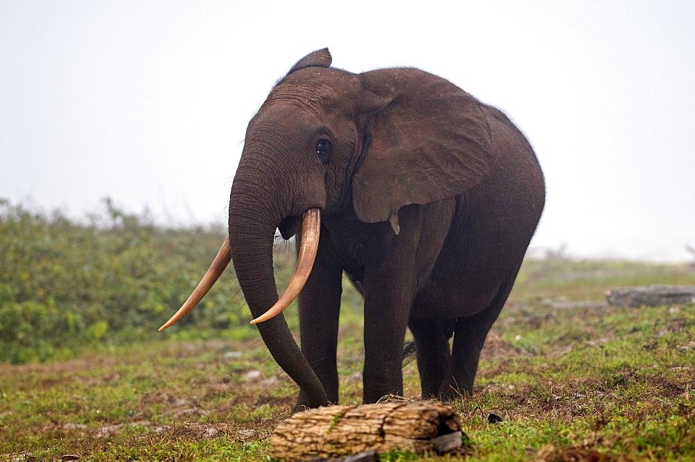 African forest elephant (Loxodonta cyclotis) bull walking on the beach, Sette-Cama, near Loango National Park, Ogooue-Maritime, Gabon, Africa - 971-80