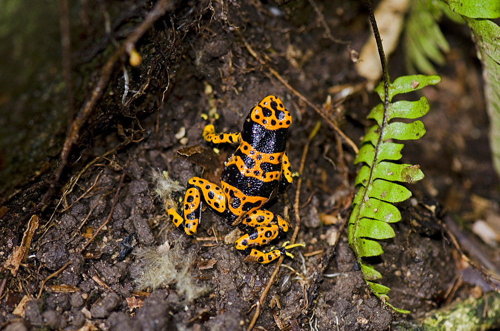 Yellow-banded poison dart frog (Dendrobates leucomelas), Guyana, South America