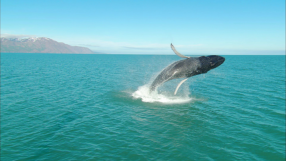 humpback whale full breach, Iceland, N Atlantic   - 972-24