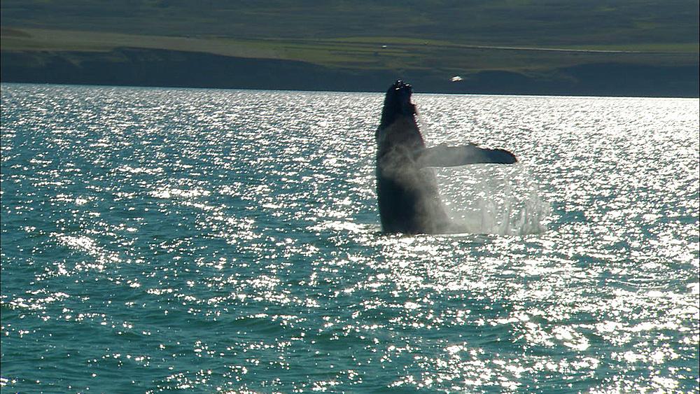 humpback whale breaching , Iceland, N Atlantic