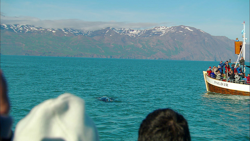 Humpback whale breaching. Iceland, N Atlantic