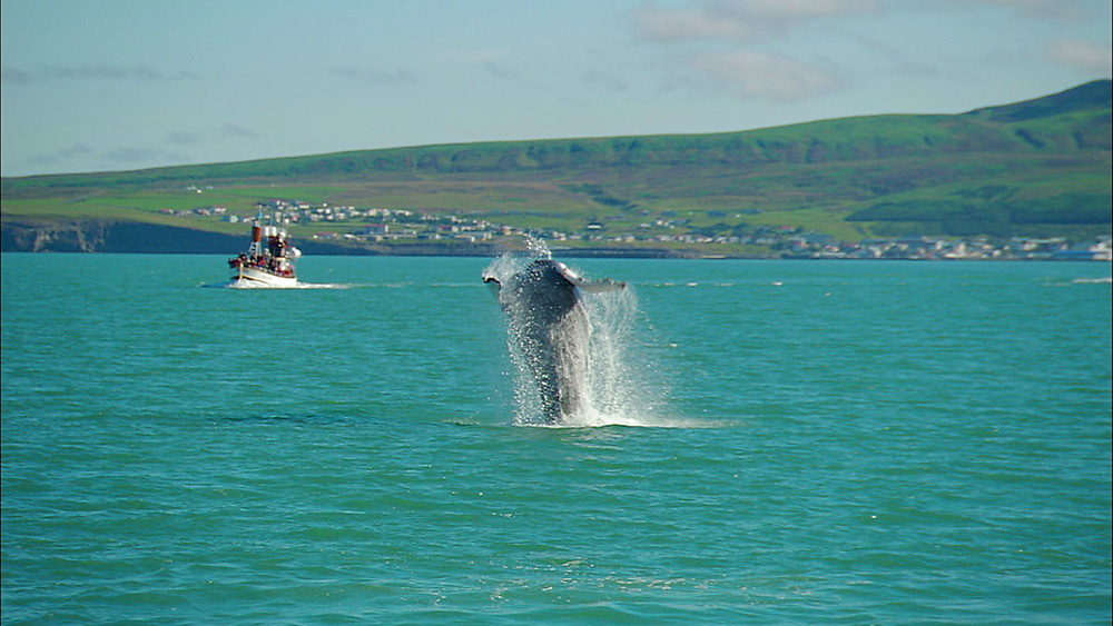 humpback whale breaching, Iceland, North Atlantic - 972-6