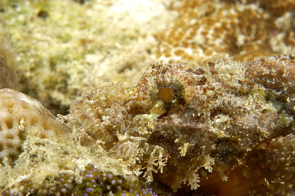 Scorpionfish (Scorpaenopsis sp).  Borneo, Malaysia   (RR)