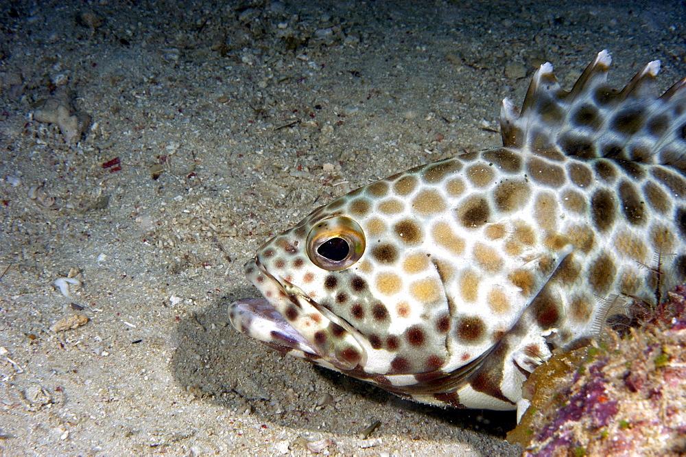 Grouper (Epinephelus areolatus).  Borneo, Malaysia   (RR) - 973-14