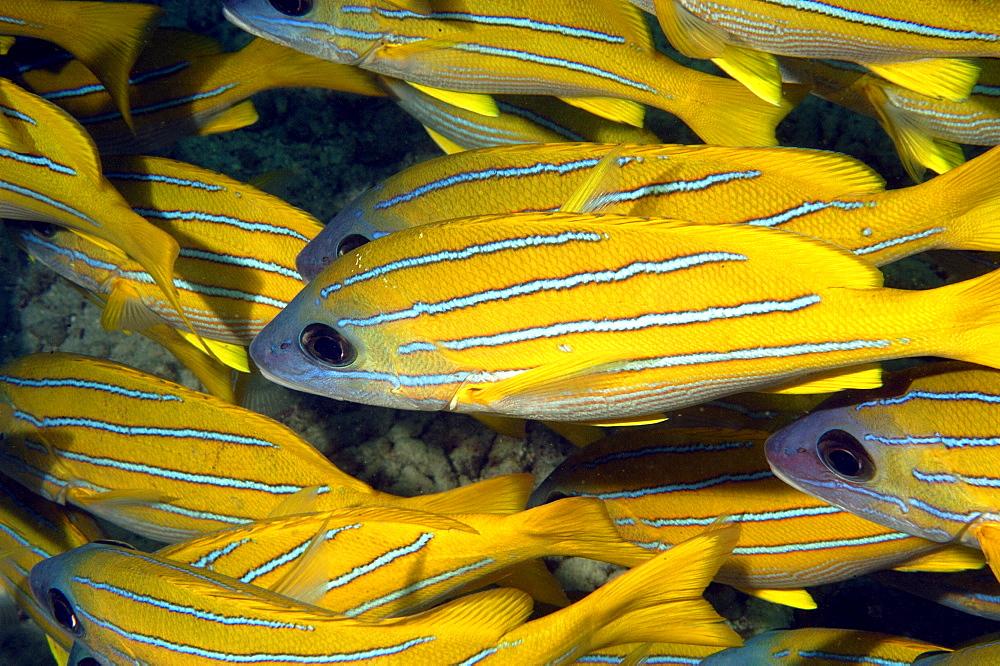 Bluestripe Snapper (Lutjanus kasmira).  Borneo, Malaysia   (RR) - 973-19