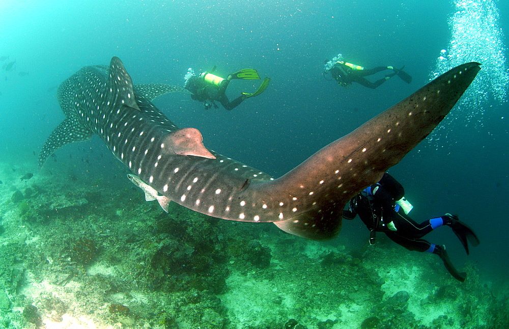 Whale Shark (Rhincodon typus)  Malaysia   (RR)