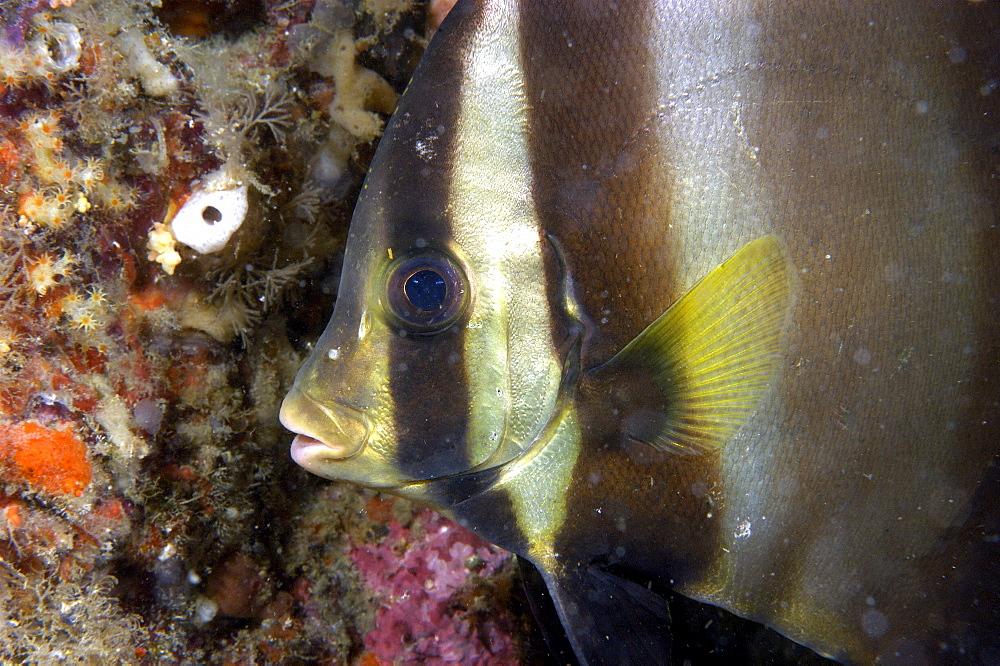 Pinnate Spadefish (Platax Pinnatus). Borneo, Malaysia   (RR) - 973-21