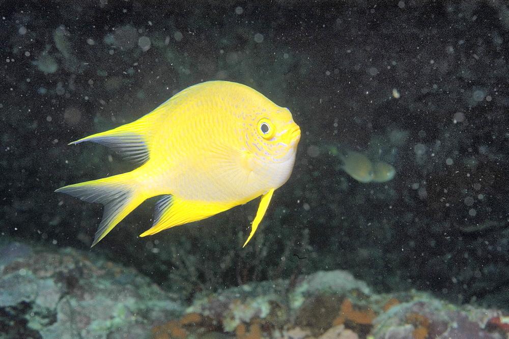 Golden Damsel (Amblyglyphidodon aureus). Borneo, Malaysia   (RR) - 973-23