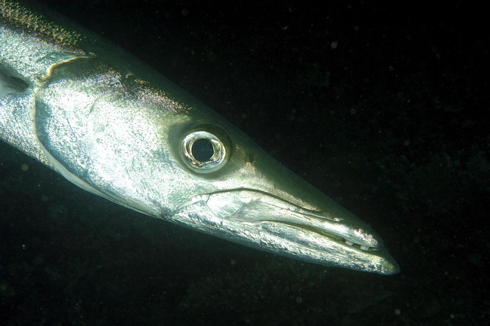 Barracuda (Sphyraenidae).  Borneo, Malaysia   (RR) - 973-26