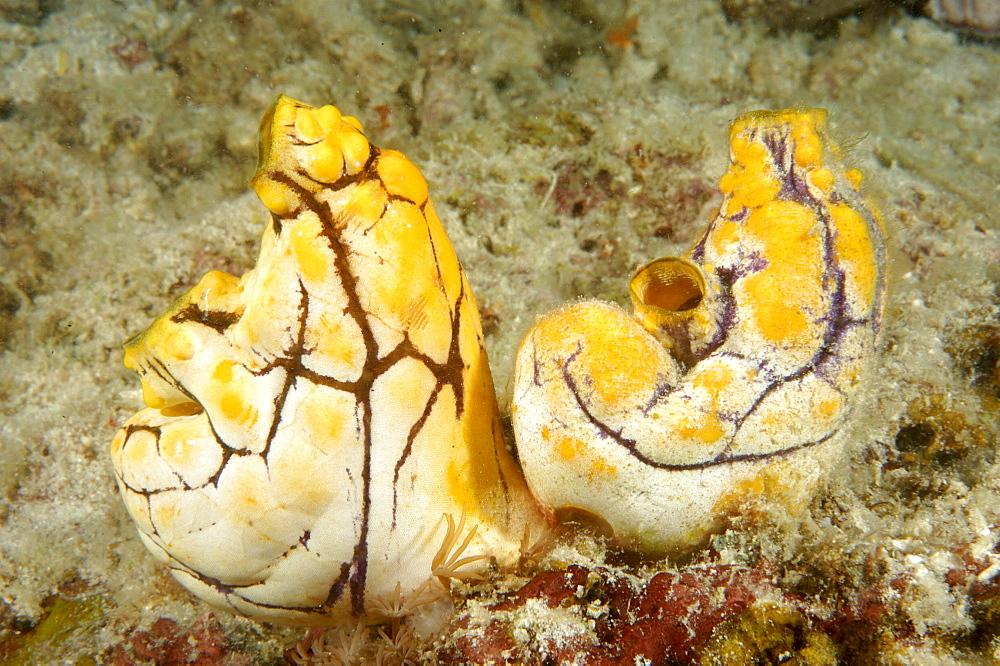 Seasquirt (Polycarpa aurata).  Borneo, Malaysia   (RR) - 973-38