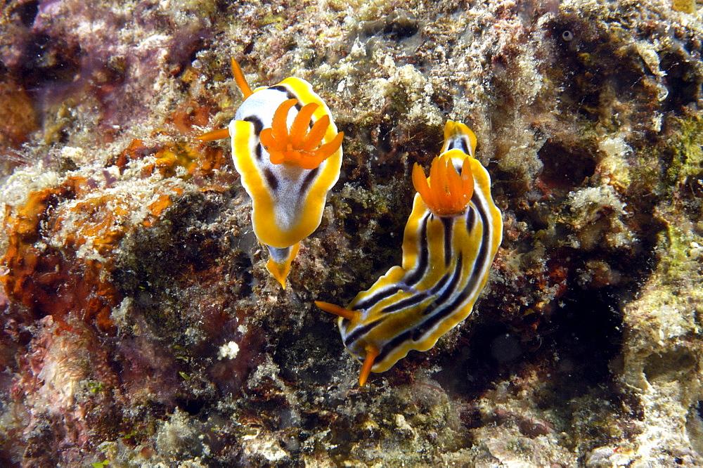 Dorid Seaslug(Chromodoris magnifica).  Borneo, Malaysia   (RR) - 973-49