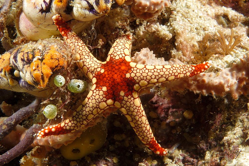 Sea Star (Fromia nodosa).  Borneo, Malaysia   (RR) - 973-54