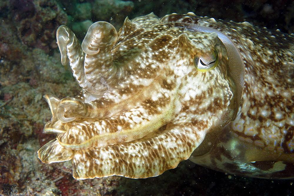 Cuttlefish (Sepia sp).  Borneo, Malaysia   (RR) - 973-57