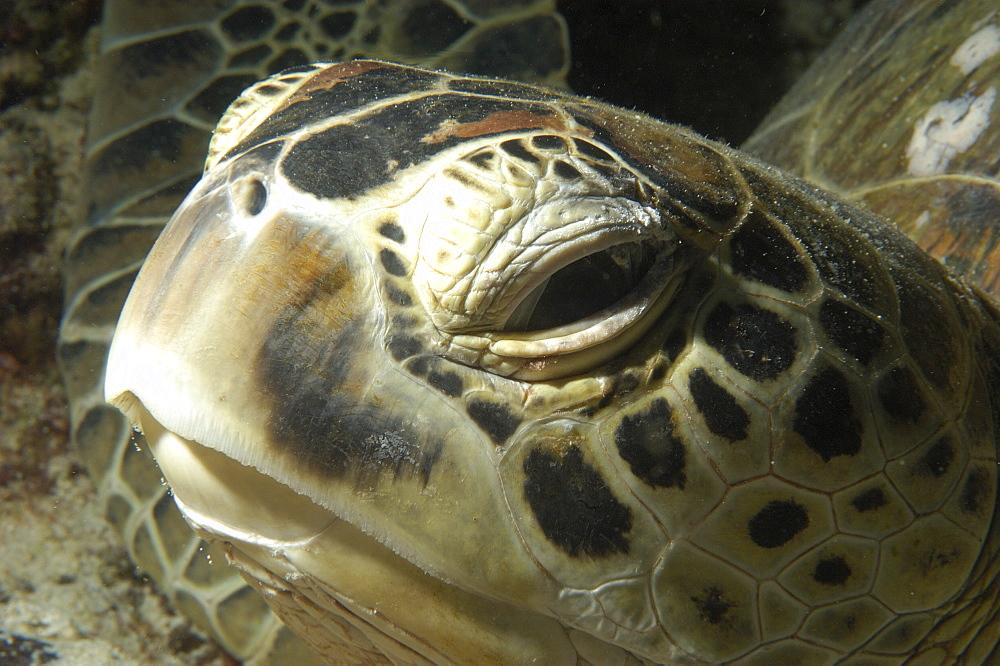 Hawksbill Turtle (Eretmochelys imbricata)?. Sipadan Island, Malaysia   (RR) - 973-58