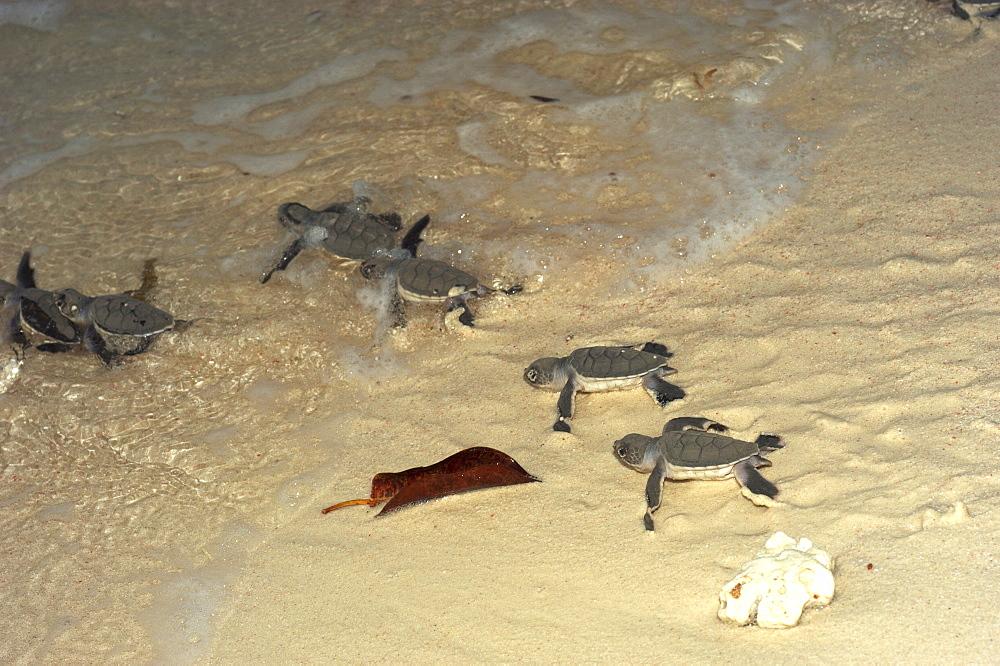Hawksbill Turtle (Eretmochelys imbricata). Sipadan Island, Malaysia   (RR) - 973-59
