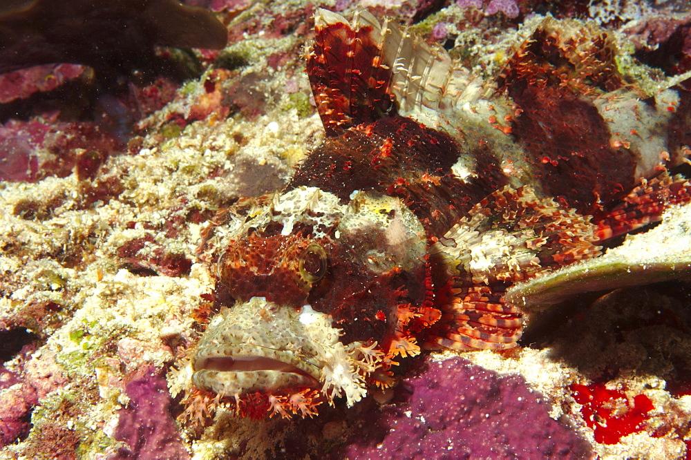 Scorpionfish (Scorpaenopsis sp). Sipadan Island, Malaysia   (RR)