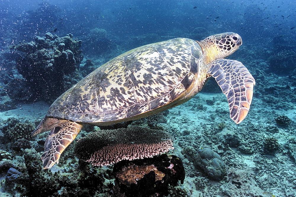 Green Turtle (Chelonia mydas).  Borneo, Malaysia   (RR) - 973-60
