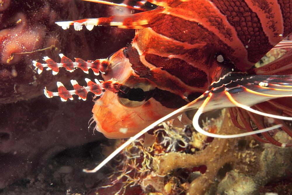Lionfish (Pterois radiata?). Sipadan Island, Malaysia   (RR)