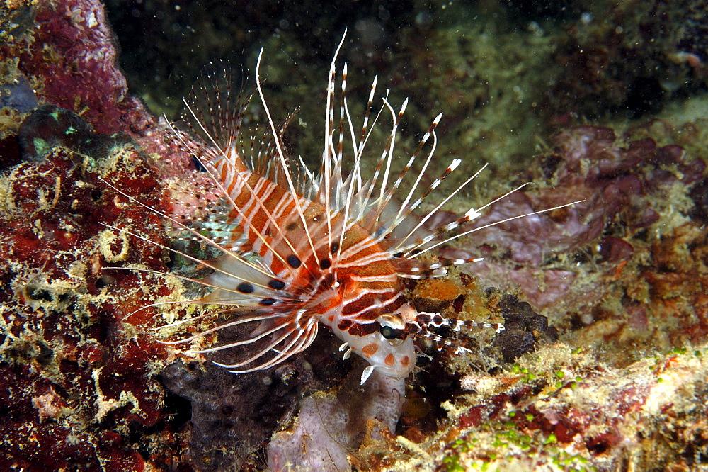 Spotfin Lionfish (Pterois antennata).  Borneo, Malaysia   (RR)