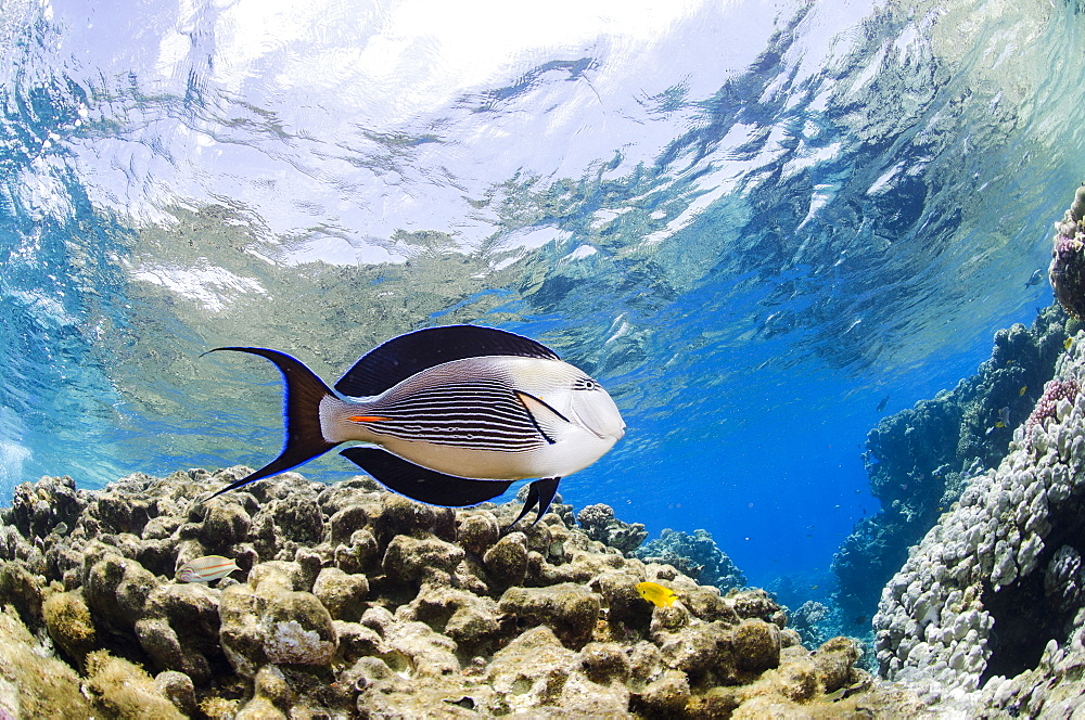 Sohal surgeonfish (Acanthurus sohal) in shallow water, low angle view, Ras Mohammed National Park, Red Sea, Egypt, North Africa, Africa  - 974-307