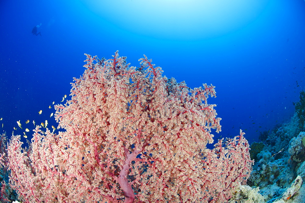 Splendid knotted fan coral  (Acabaria splendens), Ras Mohammed National Park, Red Sea, Egypt, North Africa, Africa  - 974-315