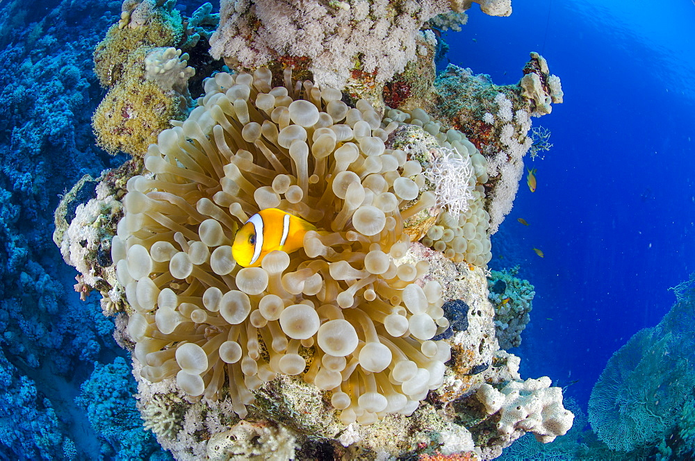 Red sea anemone fish (amphiprion bicinctus) and Haddons's anemone, Ras Mohammed National Park, Red Sea, Egypt, North Africa, Africa