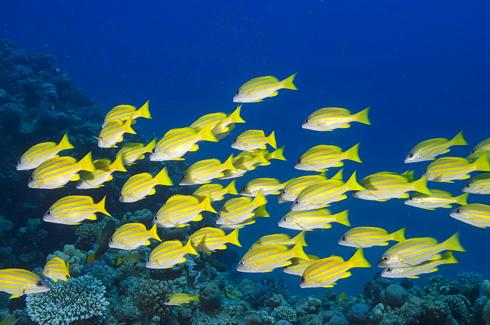 Medium shoal or school of blue striped snapper (Lutjanus kasmira), Naama Bay, off Sharm el-Sheikh, Sinai, Red Sea, Egypt, North Africa, Africa  - 974-323