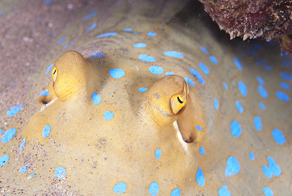 Close-up of eyes of a bluespotted stingray (Taeniura lymma), Naama Bay, off Sharm el-Sheikh, Sinai, Red Sea, Egypt, North Africa, Africa  - 974-333